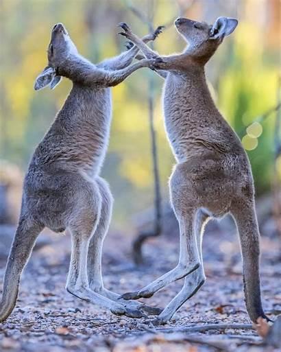 Fight Kangaroos Boxing Each Adorable Kangaroo Roo