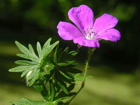 blutroter storchschnabel geranium sanguineum