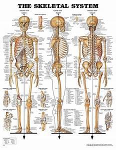 Skeletal System Study Guide Worksheet   Biological Science