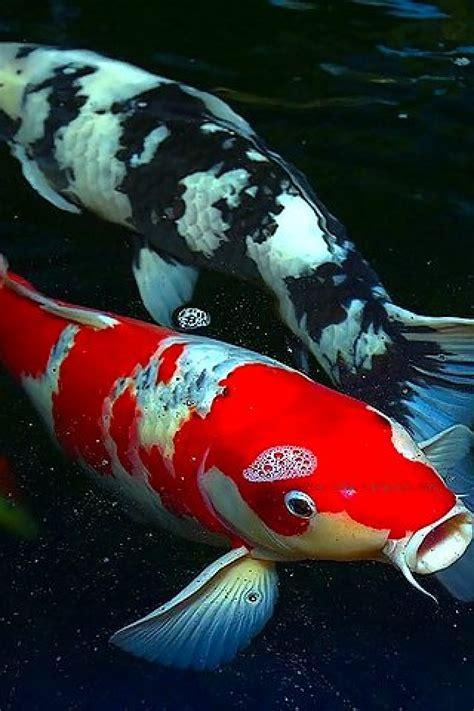 koi fish   wallpaper wallpapersafari