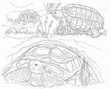 Coloring Desert Animals Tortoise Printable Turtle Printables Colouring Animal Why Adult Popular Species Owl Worksheets Template Uteer sketch template