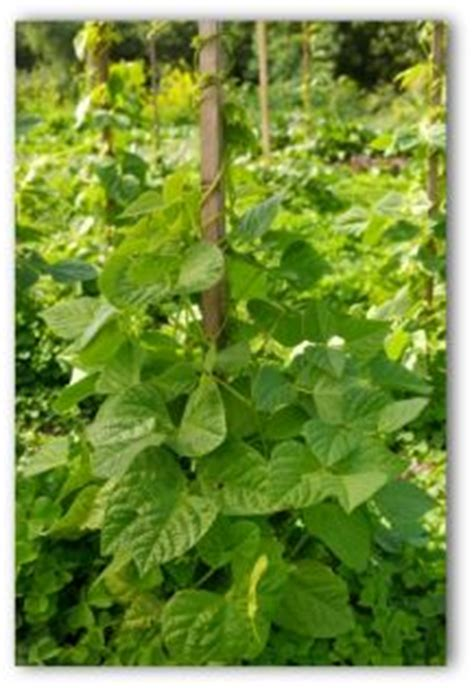 easy tips  growing beans  home