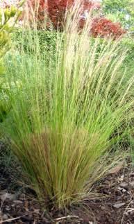drystonegarden archive maintaining ornamental grasses