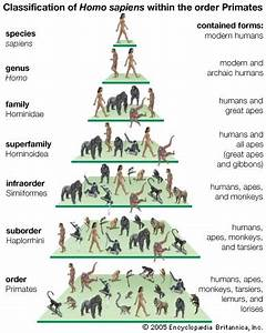 Sapiens Classification Chart Sapiens Meaning Stages Of Human Evolution