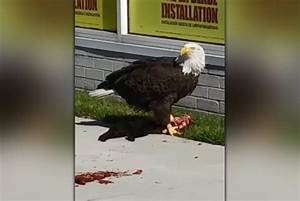 Eagle rips black house cat apart and feasts on its guts in ...