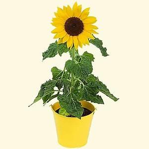 Sonnenblume Im Topf : sonnenblume im topf ~ Orissabook.com Haus und Dekorationen