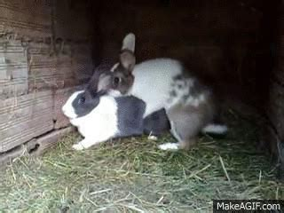 sex conejos    gif