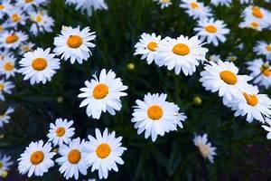 Daisy Flower Fr... Daisy