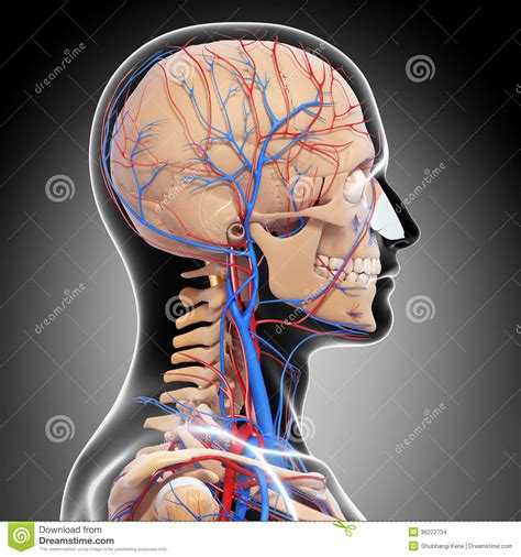 male head  view circulatory system  gray stock