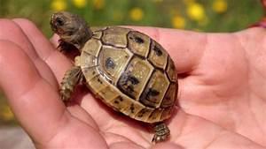 Große Reptilien Für Zuhause : baby schildkr te die richtige pflege f r junge schildkr ten ~ Lizthompson.info Haus und Dekorationen