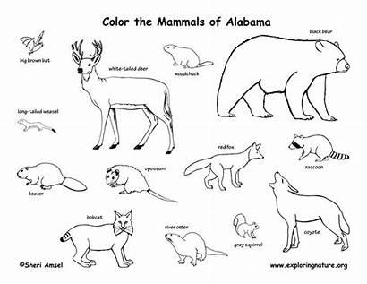 Mammals Drawing Coloring State Tundra Animals Alabama