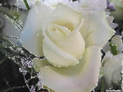 Fleurs Rose Blanche Roses Branca Superbe Scintillante