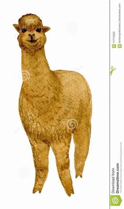 Alpaca Drawing Alpaka Drawn Brown