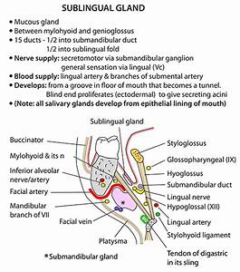 Instant Anatomy - Head And Neck - Areas  Organs - Salivary Glands