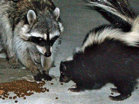 Fileurban Raccoon And Skunk Wikimedia Commons