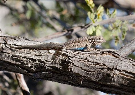 ornate tree lizard facts  pictures