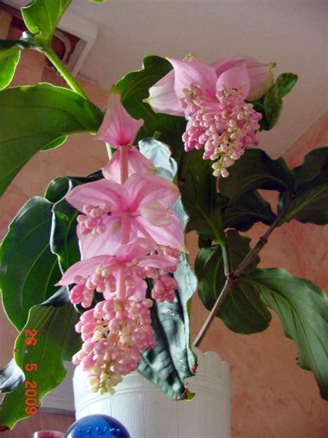 medinilla magnifica rosa welle garten pflanzen news