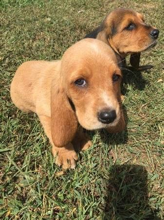 basset hound colors can a basset hound be this color basset hounds basset