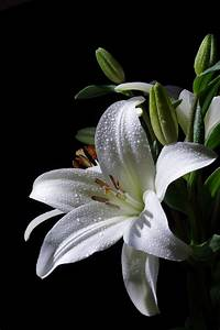 White Lily with... White Water Lily Quotes