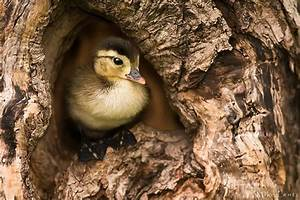 Baby Wood Duck in cavity