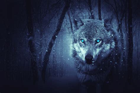 wallpaper wild wolf blue eyes scary snowfall winter