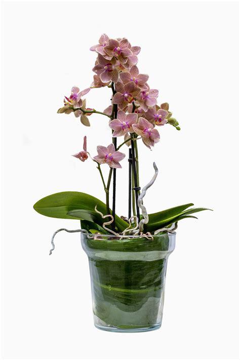 vaso per orchidea vaso in vetro con orchidea consuelo nunzia