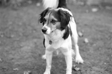 border collie terrier mix shedding beagle border collie mix temperament 1001doggy