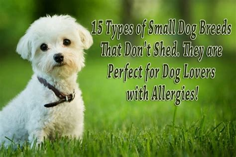 types  small dog breeds  dont shed