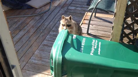 video thieving raccoon   steal compost bin