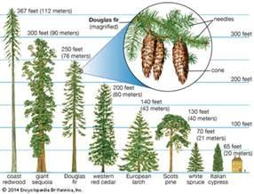 redwood conifer trees students britannica homework help