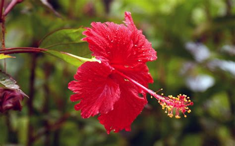 Beautiful Sceneries Of Nature For Wallpaper Wallpapers Hibiscus Flowers Wallpapers