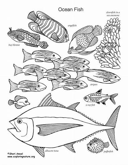 Coloring Fish Ocean Labeled Nature Exploringnature