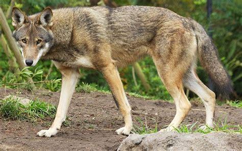 Red Wolf Wild America Wiki Fandom