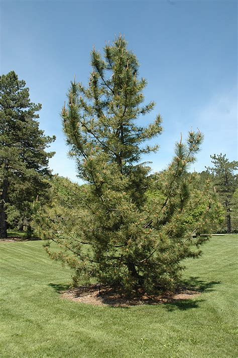 japanese black pine pinus thunbergii  long island