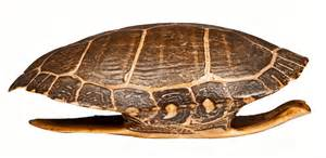 turtle shell turtle shell google search references for concept art pinterest