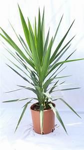 Yucca Palme Winterhart : yucca palme green busch 120 cm pflegeleichte ~ A.2002-acura-tl-radio.info Haus und Dekorationen