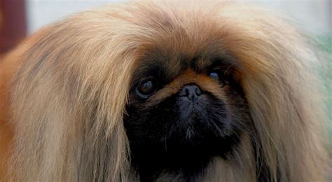 pekingese dog breed information american kennel club