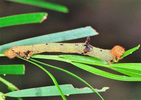 looper caterpillars  subfamily oenochrominae