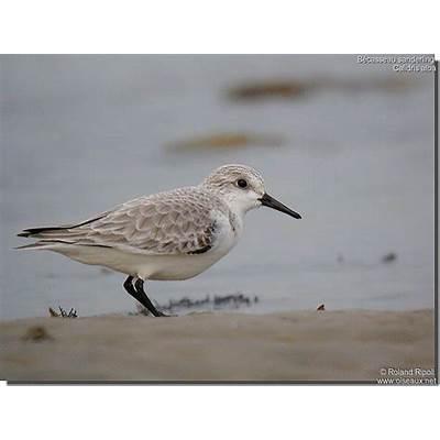 Sanderling - Calidris alba ref:rori79248