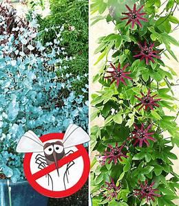 Blühende Pflanzen Winterhart : eukalyptus passionsblume weitere zierstr ucher bei ~ Michelbontemps.com Haus und Dekorationen