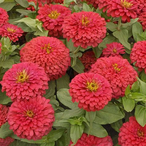 pics of zinnias zinnia flowers pinterest