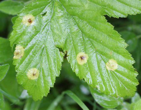 https://www.naturespot.org.uk/species/dasineura-pustulans