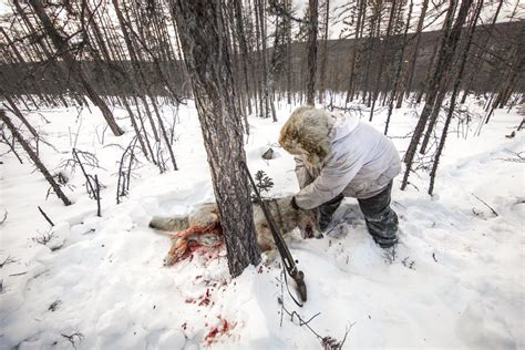 wolf hunting  siberia james morgan