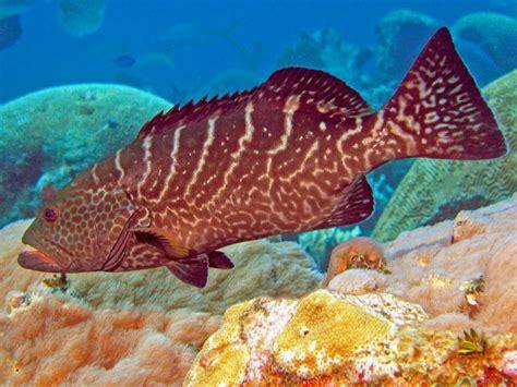 grouper tiger fish water travel underwater indonesia farming
