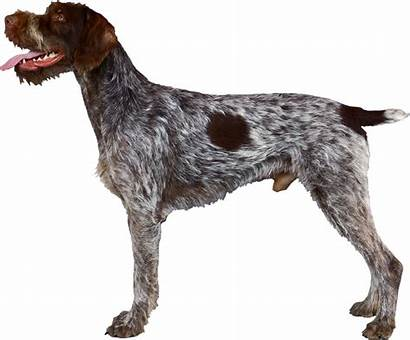 Pointer German Wirehaired Svg Shorthaired Pointing Transparent