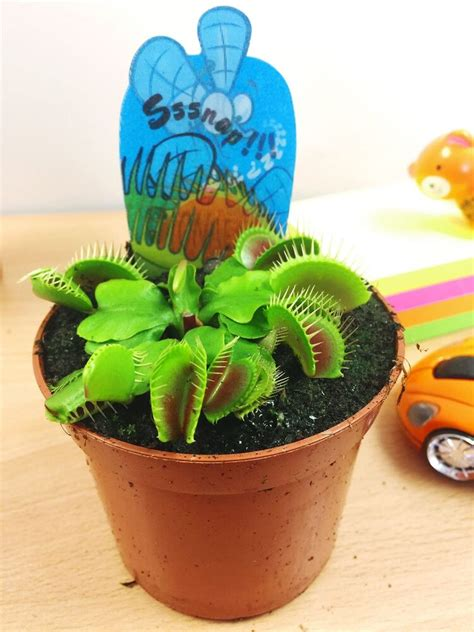 venus fly trap insect killer carnivorous plant  cm pot natural pest control ebay