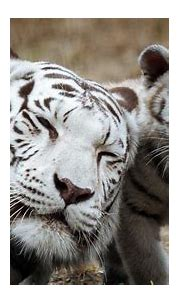 White tiger cubs maul keeper to death   Gold Coast Bulletin