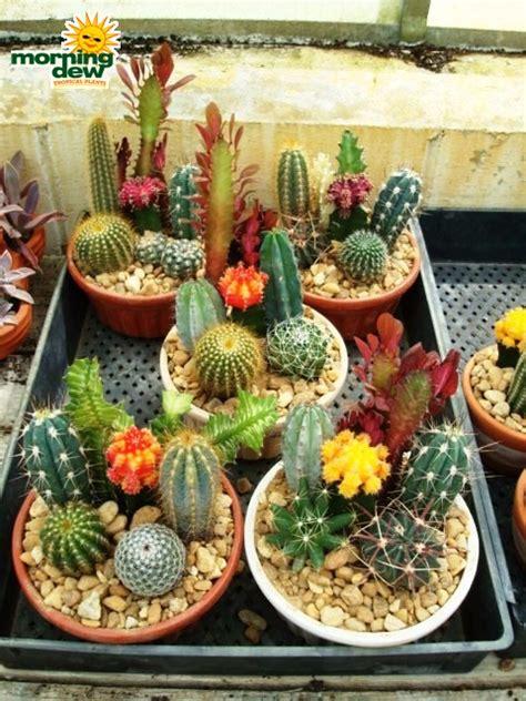 cactus dish garden dish garden morning dew tropical plants