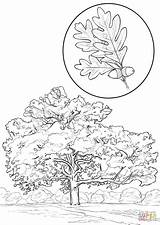Oak Coloring Pages Leaf Printable Tree Template Drawing Quercus Alba Version Trees Designlooter Leaves Categories sketch template