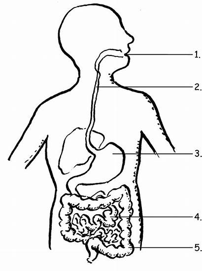 Digestive System Label Coloring Google Pages Grade